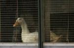 Утка больная птичьим гриппом